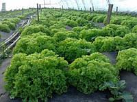 Теплицы для салатов и пекинской капусты