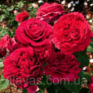 Саженцы роз. Роза флорибунда