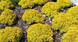 Барбарис Тунберга Tiny Gold 2 річний, Барбарис Тунберга Тини Голд, Berberis thunbergii Tiny Gold, фото 3