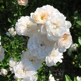 Саженцы розы - бордюрной Литтл Вайт (Little White)