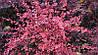 Барбарис Тунберга Pink Queen 3 річний, Барбарис Тунберга Пинк Квин, Berberis thunbergii Pink Queen, фото 2