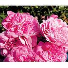Саджанці бордюрної троянди Луїс Джолієт, фото 2