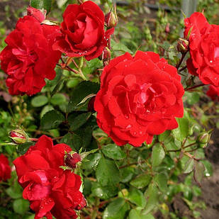 Саджанці канадської  троянди Шамплейн ( Champlain )