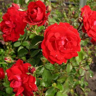 Саженцы канадской розы Шамплейн ( Champlain )