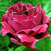 Роза кустовая Барон Жирон Де Лайон