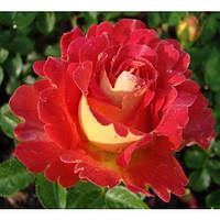 Роза парковая Памяти Высоцкого