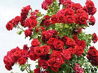Троянда плетиста червона Family Red
