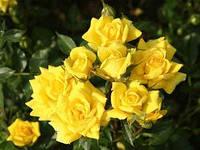 Роза бордюрная Перестройка