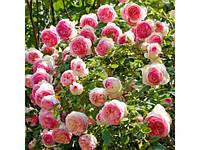 Троянда плетиста Eden Rose (Іден Роуз)
