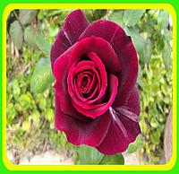 """Роза """"Мистер Линкольн"""" (Rose Mr Lincoln)"""