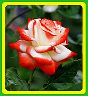 Роза чайно-гибридная Императрица Фаррах