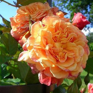 Саженцы плетистой розы Алоха (Rose Aloha)
