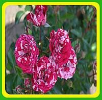 Роза бордюрная  сорт Эрроу Фолиес  ( саженцы )