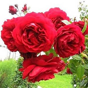 Саженцы плетистой розы Бельканто (Rose Belkanto)