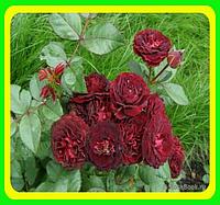 Роза Red Sensation (Ред Сенсейшн) ( саженцы )