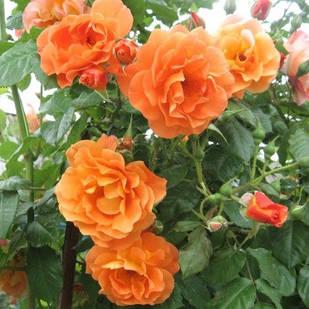 Саженцы плетистой розы Вестерленд (Rose Westerland)