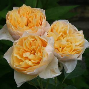 Саженцы плетистой розы Голден Флис (Rose Golden Fleece)