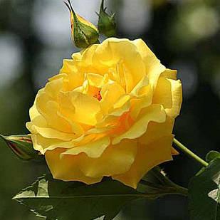 Саженцы плетистой розы Голд Штерн (Rose Goldstern)