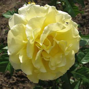 Саженцы плетистой розы Голден Шауэрс (Rose Golden Showers)