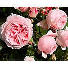 Саджанці плетистої троянди Джардина (Rose Giardina), фото 3