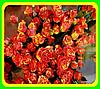 Роза Fire Flash (Файнер Флеш) ( саженцы )