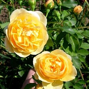 Саженцы плетистой розы Дукат (Rose Dukat)