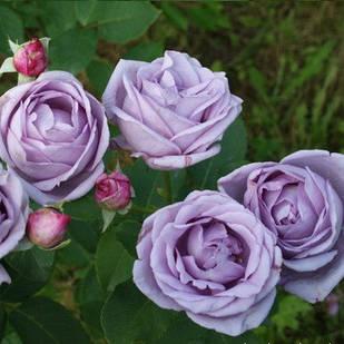 Саженцы плетистой розы Индиголетта (Rose Indigoletta)