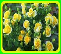Роза бардюрная желтая сорт Сан Сити саженцы / цветы