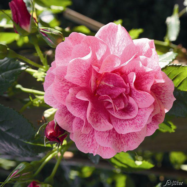 Саженцы розы - плетистой Камелот (Rose Camelot)