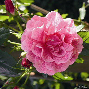 Саженцы плетистой розы Камелот (Rose Camelot)