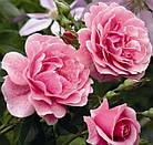 Саженцы розы - плетистой Камелот (Rose Camelot), фото 2