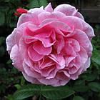 Саженцы розы - плетистой Камелот (Rose Camelot), фото 3