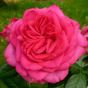 Саженцы плетистой розы Маритим (Rose Maritim)
