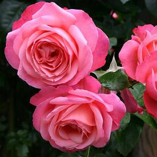 Саженцы плетистой розы Розанна (Rose Rosanna)
