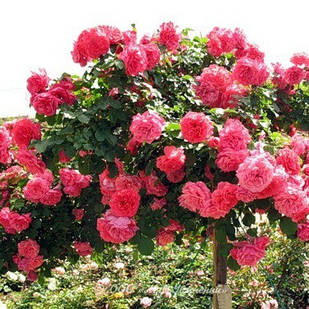 Саженцы плетистая розы Розариум Ютерзен (Rose Rosarium Uetersen)