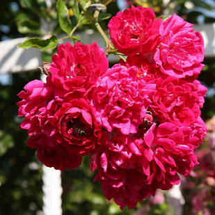 Саженцы плетистой розы Супер Эксцельза (Rose Super Excelsa)