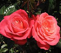 Роза плетистая Шогун