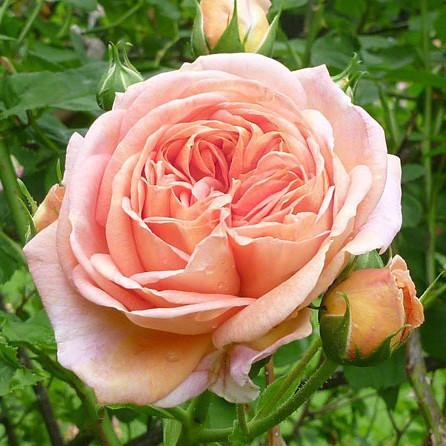 Саджанці троянди - плетистої Алхимист (Rose Alchymist)