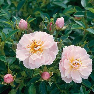 Саженцы розы почвопокровной Джентл Кавер (Rose Gentle Cover)