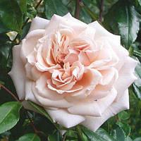 Троянда Penny Lane (Пенні Лейн) (Cl)