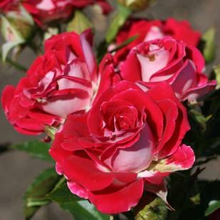 Саженцы почвопокровной розы Руби Стар (Rose Ruby Star)