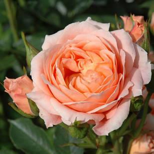 Саженцы розы почвопокровной Свит Дрим (Rose Sweet Dream)