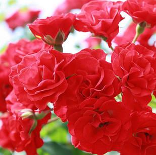 Саженцы почвопокровной розы Скарлет Мейяндекор (Rose Scarlet Meillandecor)