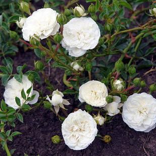 Саженцы почвопокровной розы Суоми (Rose Swany)