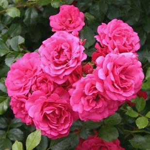 Саженцы почвопокровной розы Роди (Rose Rody)
