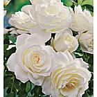 Саджанці троянди - плетистої Айсберг (Rose Iceberg), фото 2