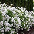 Саджанці троянди - плетистої Айсберг (Rose Iceberg), фото 3