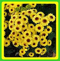 Хризантема ранняя сорт Тедча ( укорененные черенки)