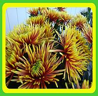 Хризантема сорт Сафина  (Укорененные черенки)
