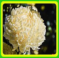 Хризантема ранняя сорт Кремист белый ( укорененные черенки)